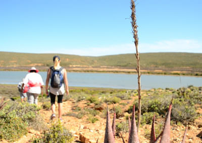 Aloe with view of the Olifants River.